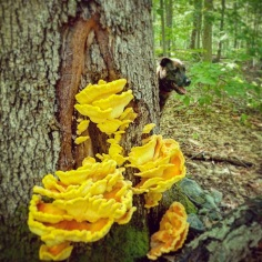 Late Summer chicken of the woods