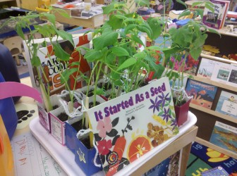 Seed Gardening in recycled Milk Cartons (3)