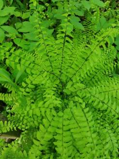 Maidenhair Fern (1)
