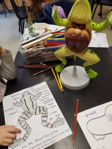 frog anatomy lesson