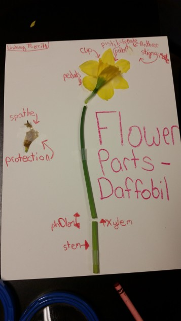 Parts of a Flower Daffodil Dissection (4)